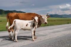 Mucca con il vitello Immagini Stock