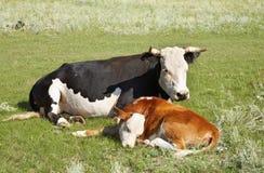 Mucca con il vitello fotografia stock
