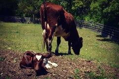 Mucca con il vitello Immagine Stock
