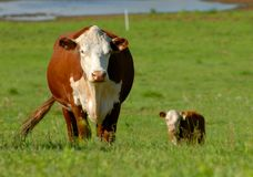 Mucca con il vitello Immagini Stock Libere da Diritti
