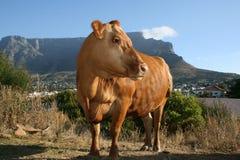 Mucca con la montagna della tabella nella priorità bassa Fotografia Stock
