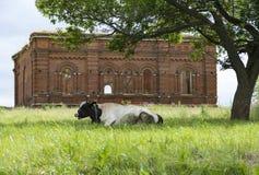 Mucca con la pelle macchiata che si trova sull'erba sotto un albero, behin Fotografia Stock