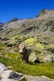 Mucca con le montagne nei gredos, avila, spagna Immagine Stock