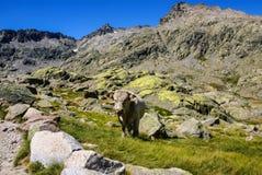 Mucca con le montagne nei gredos, avila, spagna Fotografie Stock