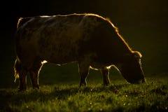 Mucca con Rimlight Fotografia Stock Libera da Diritti