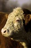 Mucca con rivestimento capo obliquamente fotografie stock libere da diritti