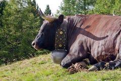 Mucca con un segnalatore acustico Immagine Stock