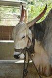 Mucca con una corda fotografia stock