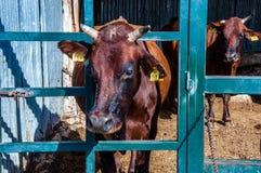 Mucca contrassegnata Fotografia Stock Libera da Diritti