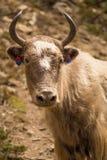 Mucca cornuta con i colori Fotografie Stock