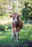 Mucca cornuta curiosa che verifica macchina fotografica Immagini Stock