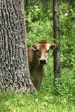 Mucca curiosa Immagini Stock Libere da Diritti