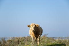 Mucca curiosa Fotografie Stock