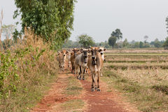 Mucca curiosa Immagini Stock