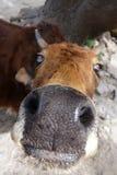 Mucca curiosa Fotografie Stock Libere da Diritti