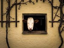 Mucca curiosa che guarda dalla finestra della stalla Fotografie Stock