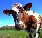 Mucca curiosa dell'ayrshire Immagini Stock Libere da Diritti