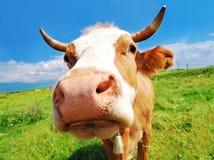 Mucca curiosa dell'azienda agricola Fotografia Stock
