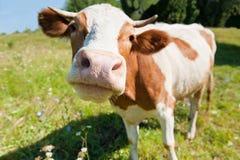 Mucca curiosa nel prato Immagini Stock