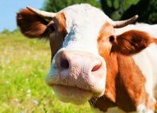 Mucca curiosa nel prato Fotografia Stock Libera da Diritti