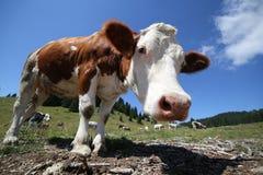 Mucca curiosa nelle montagne fotografate con il fish-eye Fotografia Stock