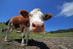 Mucca curiosa nelle montagne fotografate con il fish-eye Fotografia Stock Libera da Diritti