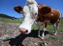 Mucca curiosa nelle montagne fotografate con il fish-eye Immagini Stock