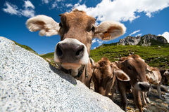 Mucca curiosa su un prato Fotografia Stock