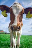 Mucca curiosa sveglia del bambino Immagine Stock Libera da Diritti