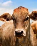 Mucca d'un anno australiana dei bovini da carne giovane Immagini Stock
