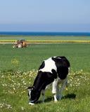 Mucca da latte Fotografie Stock Libere da Diritti