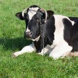 Mucca da latte in bianco e nero Immagini Stock Libere da Diritti