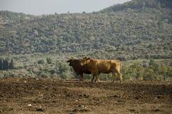 Mucca da latte che pasce su un'azienda agricola Israele del pendio di collina Immagine Stock