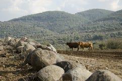 Mucca da latte che pasce su un'azienda agricola Israele del pendio di collina Fotografia Stock