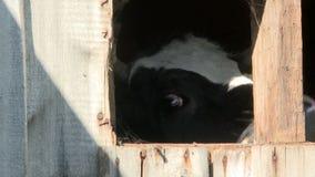 Mucca da latte che sta nel granaio all'azienda agricola di bestiame archivi video