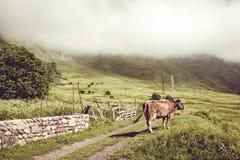 Mucca da latte sull'erba verde di estate Animale da allevamento Paesaggio rurale Agricoltura del concetto Nuvole che discendono s Fotografia Stock Libera da Diritti