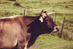 Mucca da latte sull'erba verde di estate Animale da allevamento Paesaggio rurale Agricoltura del concetto Prato georgiano Copi lo Fotografie Stock Libere da Diritti