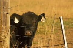 Mucca da macello nera del Angus nel campo Fotografia Stock Libera da Diritti