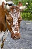 Mucca da Telemark in Norvegia immagini stock libere da diritti