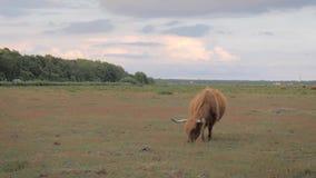 Mucca dai capelli lunghi con i grandi corni che pascono su un prato stock footage