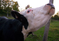 Mucca dei bovini da carne Fotografia Stock Libera da Diritti