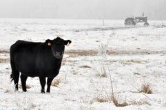 Mucca del Angus che pasce Fotografia Stock