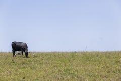 Mucca del bestiame Immagine Stock Libera da Diritti