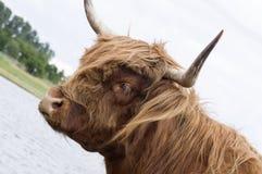 Mucca del bestiame dell'altopiano Fotografie Stock Libere da Diritti