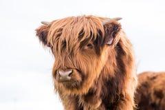 Mucca del bestiame dell'altopiano Fotografie Stock