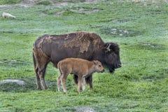 Mucca del bisonte con il nuovo vitello del bambino fotografia stock
