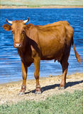 Mucca del Brown Immagine Stock