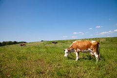 Mucca del Brown che mangia erba Fotografia Stock