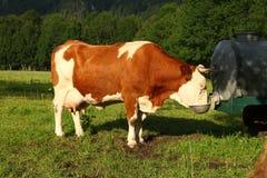 Mucca del Brown con bere dei corni Immagine Stock
