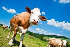 Mucca del Brown nel paesaggio austriaco Fotografia Stock Libera da Diritti